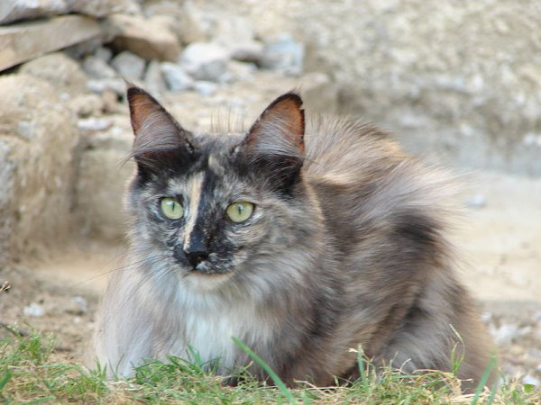 chat angora turc
